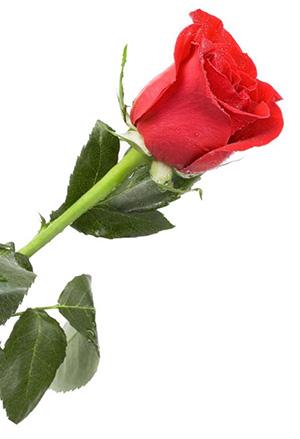 תמונה של ורד