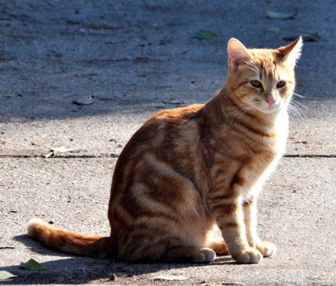 תמונה של חתול-גינגי