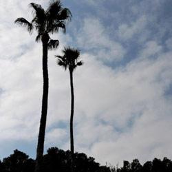 תמונה של עצי-הדקל