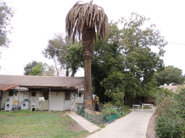תמונה של אמרי גיל מנסר את העץ המת
