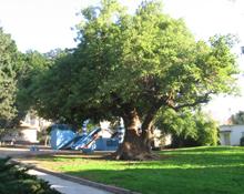 תמונה של העץ-הגדול
