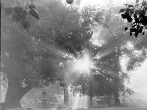 תמונה של העץ הישן