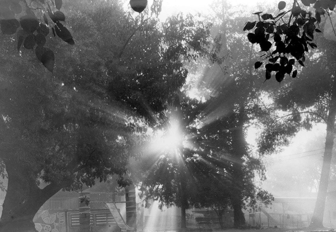 תמונה ישנה של עץ הפיטולקה