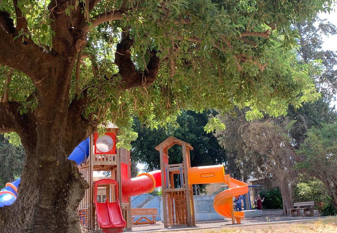 תמונה של עץ הפיטולקה היום