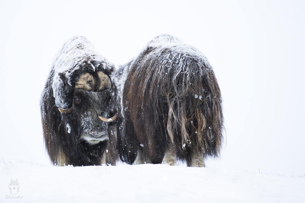 תמונה של כבש המושק צילום עמית אשל