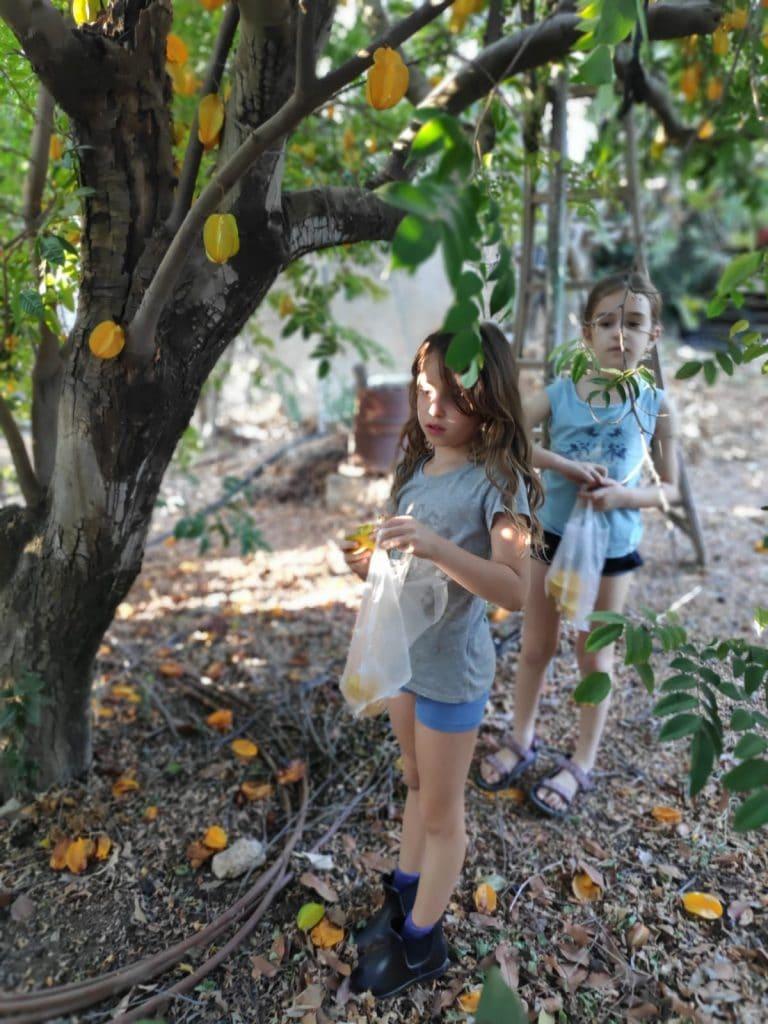 עץ קרמבולה צילום: גפן קלין