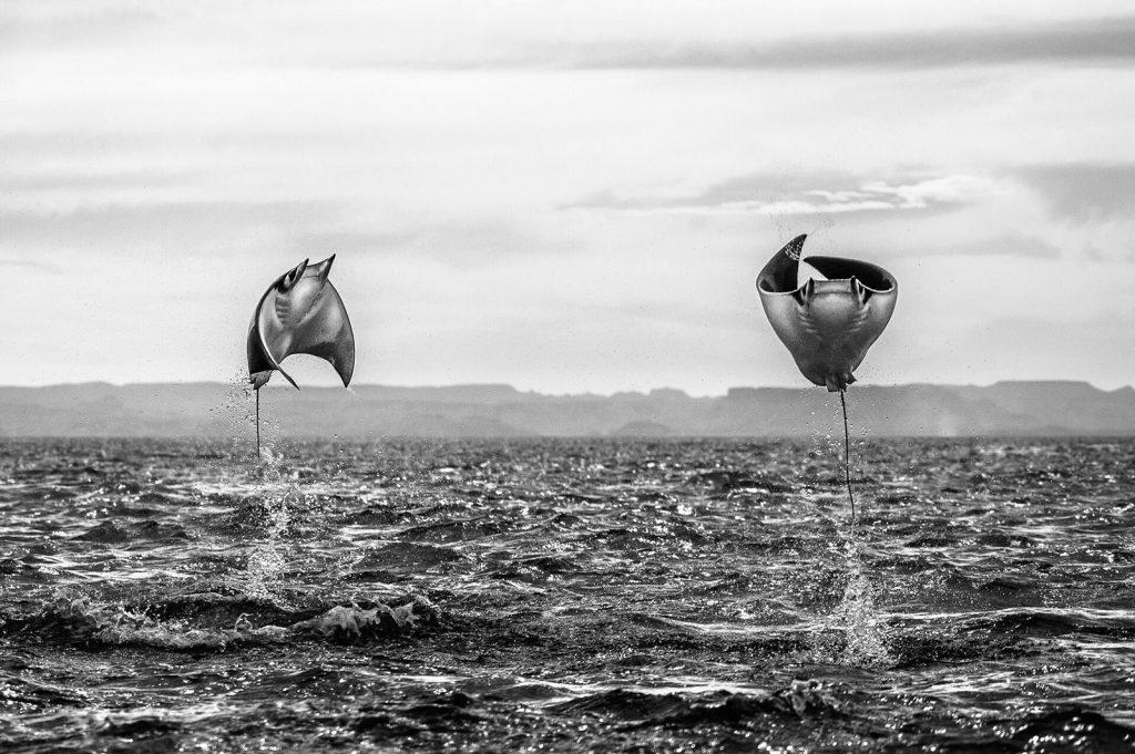 חתולי ים מעופפים צילום עמית אשל